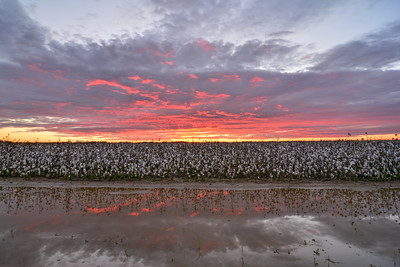 Killer sunset this week over a gorgeous cotton field on Bretlind Farms near Dunleith, Mississippi. Even after a 5 inch rain, this field is still looking strong!   Keep up with me in Instagram at instagram.com/johnmontfort Feel free to share!