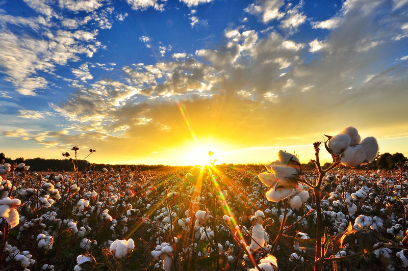 "Beautiful cotton field sunset near Holly Bluff, Mississippi! One of many prints that would make a perfect Christmas gift! Order prints of this and many more at  <a href=""http://www.flatoutdelta.com"">http://www.flatoutdelta.com</a>! <br /> <br /> Like and share if you love the Delta!"