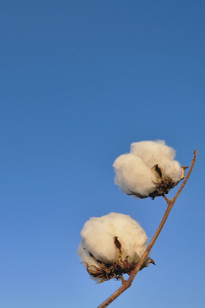 Cotton Bolls and Blue Skies - near Cleveland, MS