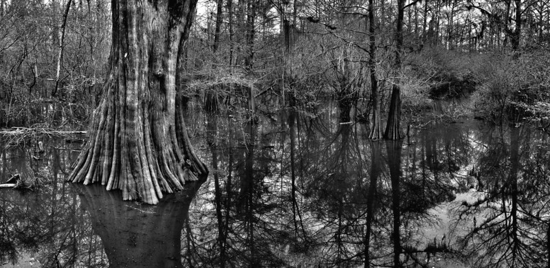 Giant Bald Cypress tree in Sky Lake - near Belzoni, Mississippi