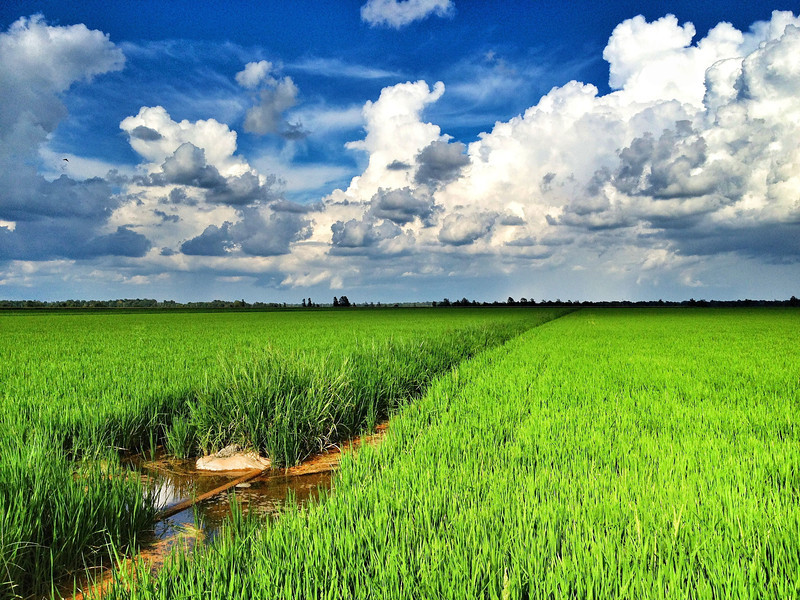 Rice field on a beautiful Mississippi Delta day - near Cleveland, MS