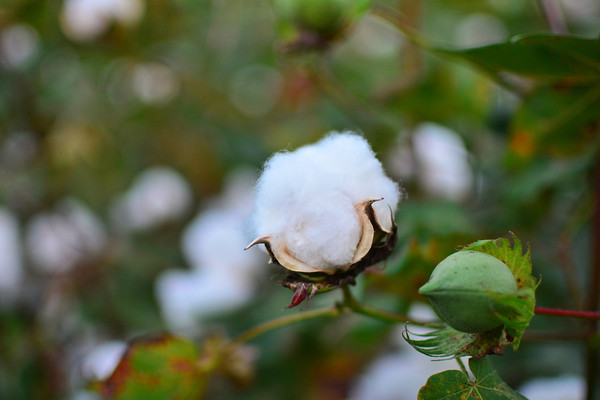This early, opened cotton boll is trying to get ahead of the rest of the crew. - near Leland, Mississippi