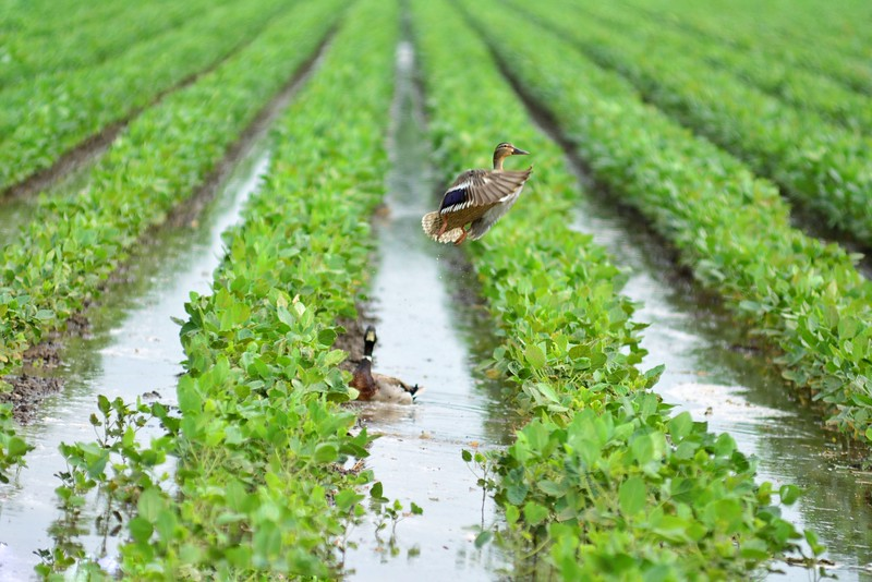 Out on Bourbon Plantation, this pair of mallards is enjoying all of the irrigation! - near Elizabeth, Mississippi. Feel free to share! <br /> <br /> Follow, keep up and see more photos on instagram.com/johnmontfort