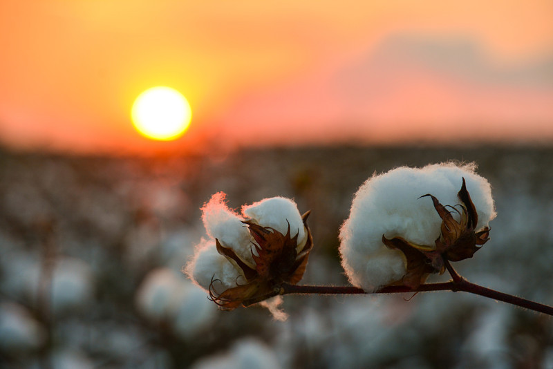 """Cotton Bolls on Jordan Farms in Carter, MS. I took this shot a couple of weeks ago while standing in a cotton field waiting on the Harvest Moon to rise. See more at  <a href=""""http://www.instagram.com/johnmontfort"""">http://www.instagram.com/johnmontfort</a>"""
