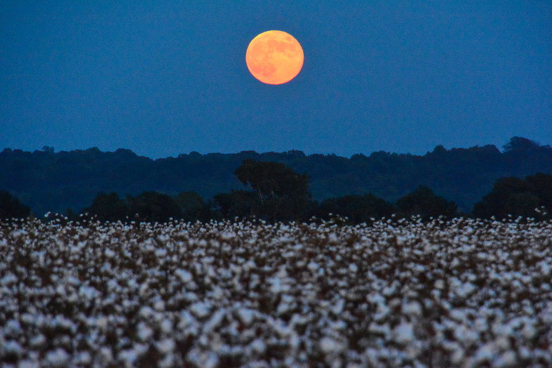 """Last night's """"Harvest Moon"""" rising over a field of cotton in Carter, Mississippi - See more at  <a href=""""http://www.instagram.com/johnmontfort"""">http://www.instagram.com/johnmontfort</a><br /> <br /> The Harvest Moon is the full moon closest to the autumnal equinox. The  term """"Harvest Moon"""" is said to have been coined by farmers in the days before tractors with lights. As the sun's light faded in the west, the moon would soon rise in the east to illuminate the fields throughout the night."""