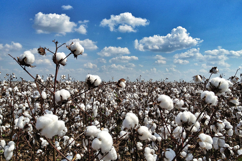 LIKE and SHARE for a chance to recieve a free framed 8x10 print!  White Gold in Midnight, Mississippi - There is a lot of beautiful cotton this year in the Mississippi Delta