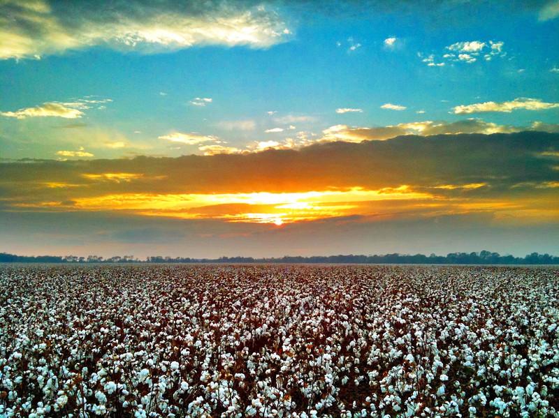 Mississippi Delta Cotton Field - Shaw, Mississippi