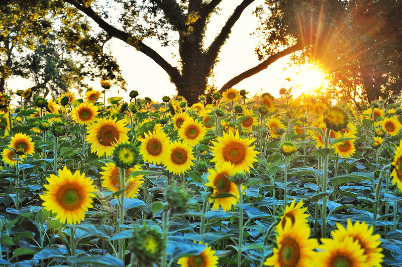 Delta sunset over a sunflower (dove) field in a pecan orchard - near Leland, Mississippi