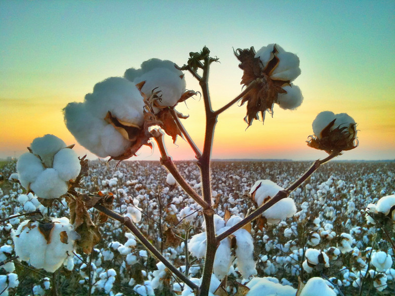 Single Cotton Stalk at Sunset - Holly Ridge, Mississippi