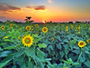 Early sunflower field in the Mississippi Delta - near Elizabeth, Mississippi