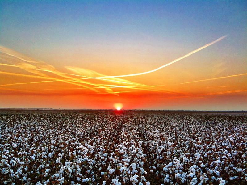 Mississippi Delta Cotton Field Sunset - Bourbon, Mississippi