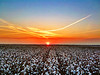 Mississippi Delta Cotton Field Sunset - Bourbon, Mississippi
