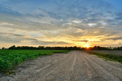 Good Morning! Take a back road to work, a lot of people around here do! - Cotton along a gravel road near Dunleith, Mississippi