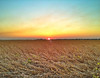 Mississippi Delta Soybean Field at Sunset - Cleveland, Mississippi