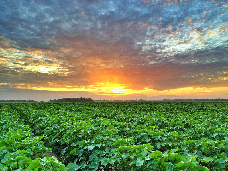 Sunset over a cotton field near Fairview, Mississippi