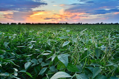These soybeans on Fratesi Planting Co. are loaded! Wishing all the Delta farmers a bountiful harvest!  - near Leland, MS