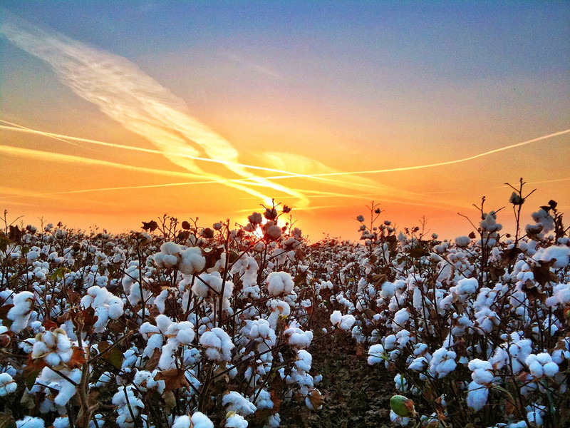 Mississippi Delta Cotton - Bourbon, Mississippi