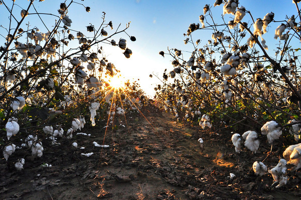 Wake up and smell the rows! Like and share if you love the smell of cotton and dirt!