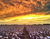 Sunset over a Mississippi Delta cotton field as Hurricane Isaac moves in - near Indianola, Mississippi