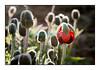 Les premiers pavots de l'année 2012 dans mon jardin le dimanche 27 mai au matin.