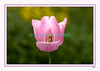 Tulipe amoureuse