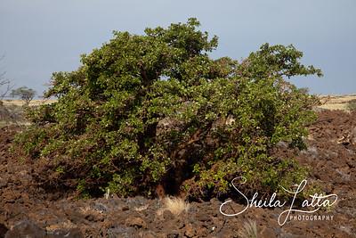 Waikaloa Dry Forest
