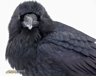 This Raven just loved to play in the snow