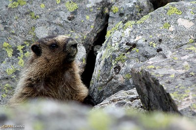 Marmot out by Lake Louise, these guys always remind me of middle aged men with male pattern baldness