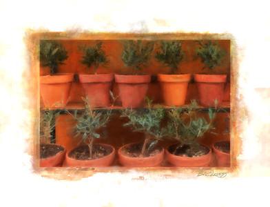 OLIVE TREE POTS 1