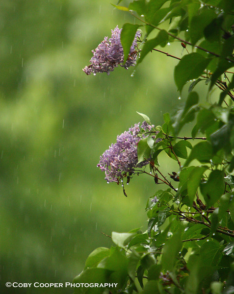 May 7, Lilacs in the rain from our weekend trip to Pennsylvania