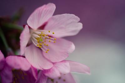 Kawazu Blossoms in Asakusa