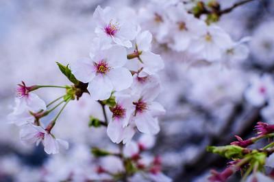 Bursting Sakura