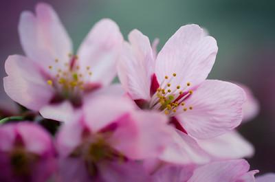 Pink Kawazu Sakura