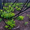 New growth resprouts from the burned remains of the parent shrubs after a fire in a Florida flatwoods