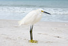 Snowy Egret posing on Beach