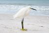 Snowy Egret posing on Beach