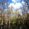 Cypress grove in Everglades on Loop Road