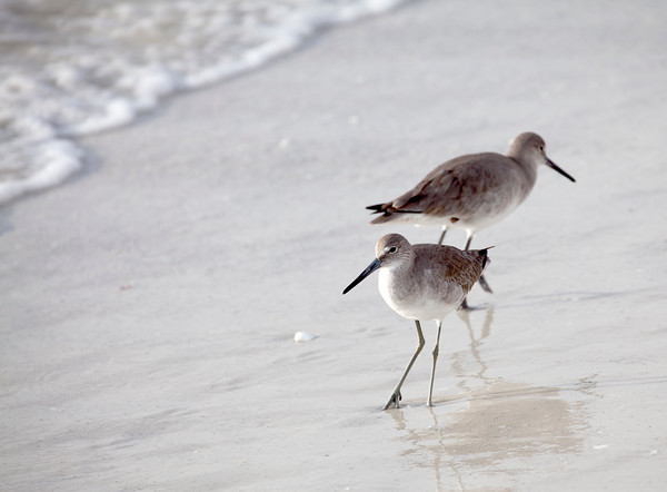 Pair of Willets on Beach