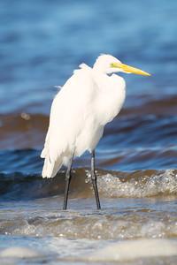 Snowy Egret (Cape Coral)