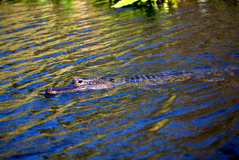 Everglades Holiday Park;Wild Alligator