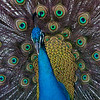 Peacock, Everglades Holiday Park