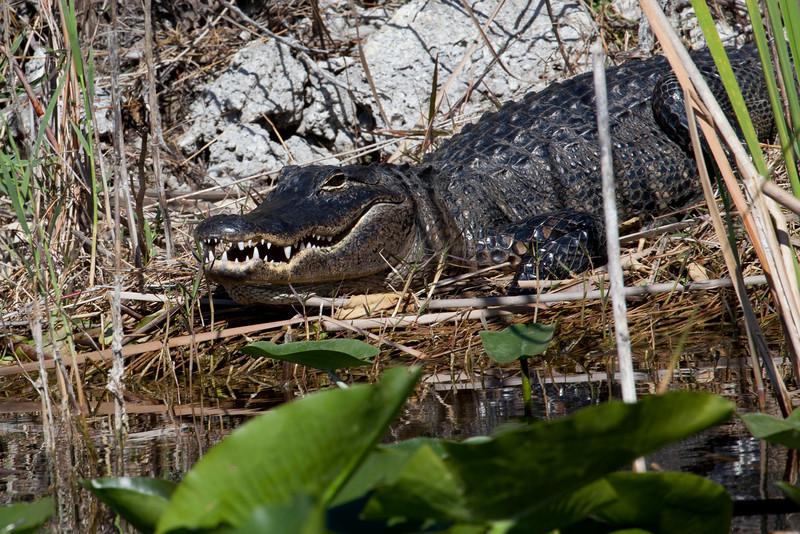 Everglades Holiday Park, Wild Alligator