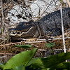 Everglades Holiday Park, Wild Alligator