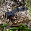 Everglades Holiday Park;Wild Alligator
