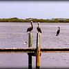 Brown Pelicans , Anhingas ...Anna Maria Island Bridge,Holmes Beach,Fl...©2014  RobertLesterPhotography.com