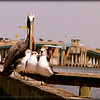 Brown Pelican , Comorant and Laughing Gulls(winter)...Anna Maria Island Bridge,Holmes Beach,Fl...©2014  RobertLesterPhotography.com