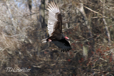 Turkey Vulture Manatee Springs State park, FL