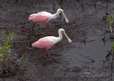 Roseate Spoonbills, Robinson Preserve  Manatee County  Florida