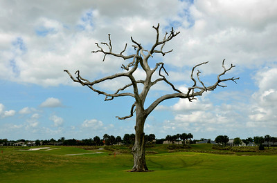 Bare naked tree on the Arnold Palmer Golf Course in The Villages, Florida -- #7130