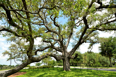 Sphagnum Moss Oak Tree in The Villages, Florida - #7216